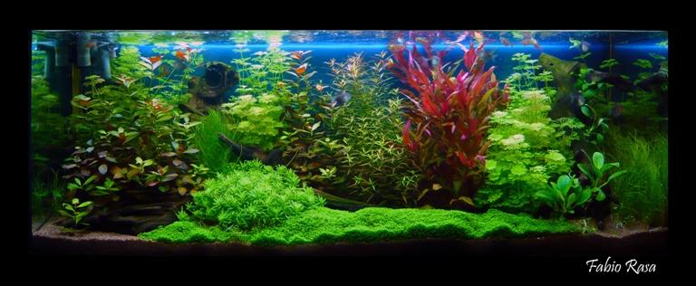 acquari, pesci, piante, accessori grugliasco torino | aquaplantarum - Allestimento Acquario Per Betta Splendens